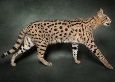 Savannah Cat - Size,Diet,Temperament,Price. Savannah Kitten, Savannah Chat, Exotic Cats, Exotic Fish, Cat Enclosure, Reptile Enclosure, Serval, Munchkin Cat, French Bulldog Puppies
