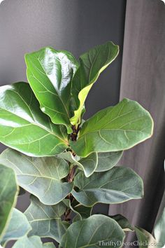 How to make your fiddle leaf fig tree shine using a household item you can find in the fridge!