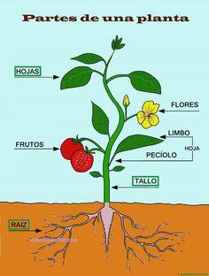 Partes de una planta para niños de Primaria - Web del maestro Parts Of A Flower, Parts Of A Plant, Plant Science, Science Nature, Planting For Kids, Tomato Garden, Stranger Things Netflix, Spanish Lessons, Any Book