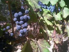 Malbec grapes for Trivento Eolo await They look so fleshy! Mendoza, Wine, Fruit, Harvest, The Fruit