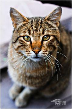 Matou, Beautiful Cats, Cat Art, Cats And Kittens, Kitty, Horses, Pets, Photography, Animals
