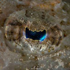Crocodile Flathead | Fiji | 2014.11.03  Title: Crocodile Flathead Location: Fiji Camera: NIKON D800E Lens: AF-S Micro Nikkor 60mm f/2.8G ED Settings: 1/250 f/32 ISO640 Housing: Subal ND800 Strobes: 2 x INON Z240  http://marek.wylon.com