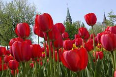 Listen To Beautiful Words: What Is The Meaning Of Tulip