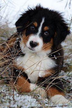 Bernese Mountain Dog - Memphis