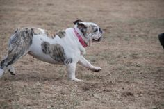 Aww Lola trying to keep up with Bella...(english bulldog)