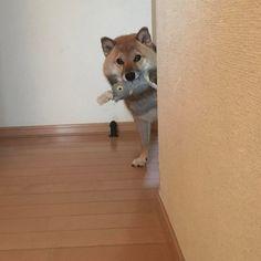 """2 Likes, 1 Comments - @shiba_sakura_0306 on Instagram: """"#おねだりファーボ コンテストに参加します。 @all_dog_japanさん主催のコンテスト @all_dog_japan と@furbo_japan の2つをフォローして応募すると…"""""""