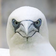 I ❤ birds . Northern gannet ~By Volker Wurst Pretty Birds, Love Birds, Beautiful Birds, Animals Beautiful, Cute Animals, Wild Animals, Regard Animal, Photo Animaliere, Wale