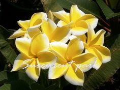 thornton lemon drop plumeria plant - Google Search