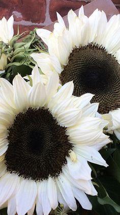 Where To Buy Sunflowers, Sunflowers And Daisies, White Flowers, Types Of Sunflowers, Beautiful Flowers, Sunflower Garden, Sunflower Fields, White Sunflower, Moon Garden