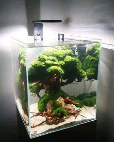 Ancient tree ini nano tank 30 x 30 x 25 cm. Ancient tree ini nano tank 30 x 30 x 25 cm.