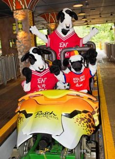 Chick-fil-A Cows ride Busch Gardens Tampa Bay's Cheetah Hunt for Cow Appreciation Week!