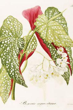 Find help & information on Begonia maculata (C) trout begonia from the RHS Botanical Tattoo, Botanical Drawings, Botanical Prints, Nature Prints, Art Prints, Begonia Maculata, Plant Decor, Collage Art, Flower Art