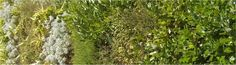 New Zealand mixed hedge: Coprosma repens (looking glass plant), Hebe, Lonicera nitida (boxleaf honeysuckle), Leyland Cypress, Helichrysum, Pseudosasa japonica (Japanese Bamboo)