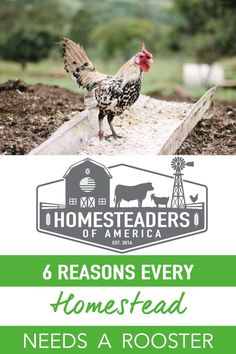 Do you need really need a rooster on the homestead? Roosters constantly get a bad rep, and typically it comes from people who have either been attacked by a rooster, or who are simply uneducated about the way roosters work within a working homestead or farm. Either way, there are a lot of great reasons to own a rooster, especially if you're a working farm or homesteader. #homestead #selfsufficiency #smallfarm #farming #chickens #backyardchickens #rooster Meat Chickens, Raising Chickens, Chickens Backyard, Modern Homesteading, Small Farm, Roosters, Farming, Prepping, Survival
