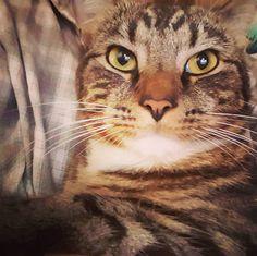 My little tiger! #cats #catstagram #catsagram #catsloversworld #catslovers
