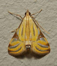 Crambid Moth (Talanga sexpunctalis) China