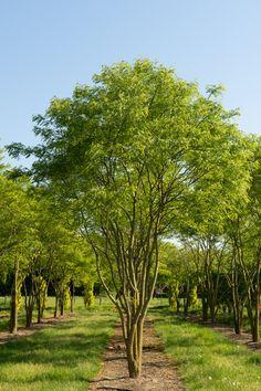 backyard designs – Gardening Ideas, Tips & Techniques Garden Trees, Garden Plants, Specimen Trees, Garden Architecture, Landscaping Plants, Trees And Shrubs, Garden Inspiration, Outdoor Gardens, Landscape Design