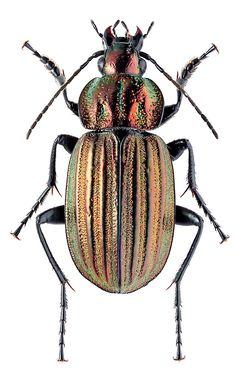 Chlaenius (Pelasmus) costulatus
