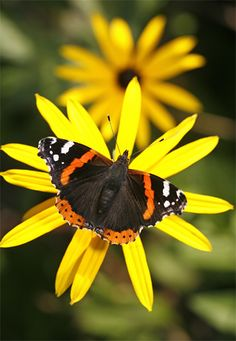 Red Admiral Butterfly & Rudbeckia Flower • photo: Brian Haslam