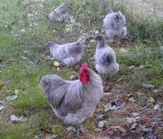 8 Started Lavender Orpington Chicks (Auction ID: 110667, End Time : Feb. 04, 2013 20:30:00) - Rare Breed Auctions