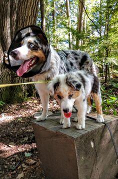 Puppy Sitting, Husky, Corgi, Puppies, Animals, Corgis, Cubs, Animales, Animaux