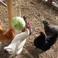 DIY Hanging Cabbage For Your Chickens - fights boredom & promotes exercise. Chicken Toys, Chicken Eating, Chicken Treats, City Chicken, Chicken Clothes, Chicken Games, Building A Chicken Coop, Diy Chicken Coop, Chicken Fence