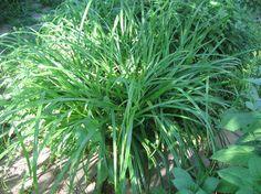 vijverplanten - carex pendula - hangende zegge - oever