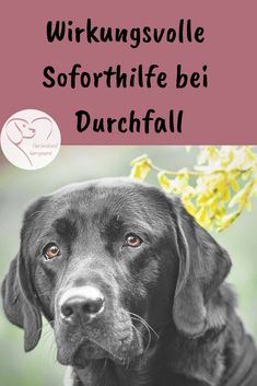Hausmittel gegen Durchfall beim Hund If the dog has diarrhea, there are some home remedies that can be used at home. These include herbs, healing earth, psyllium husks, mud baths and Moro's carrot soup. Dog Pitbull, Dog Has Diarrhea, Home Remedies For Diarrhea, Cat Supplies, Pet Health, Dog Care, Dog Owners, Animals And Pets, Pet Dogs