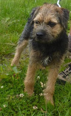 North Border Terrier