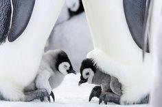 Emperor Penguin Chicks, Snow Hill Island, Weddell Sea, Antarctica, Polar Regions Photographic Print by Thorsten Milse at Fluffy Animals, Cute Baby Animals, Animals And Pets, Stuffed Animals, Penguin Pictures, Thorsten, Cute Penguins, Animal Species, Animals Of The World