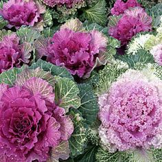 Ornamental kale--Giant rosettes of frilly leaves in lavender, rose, white, and creamy yellow make ornamental kales favorite additions to the winter garden.
