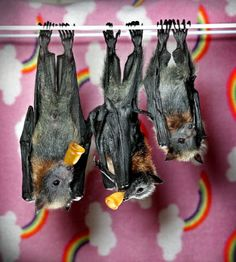 Hanging out having a drink with friends. The group of flying foxes are being cared for in a special flying fox nursery.