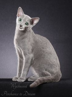Wychwood Russian Blue Cats' little rising male, photographed by Helmi Flick in 2014. Dreamy will be retiring to his Forever Pet home once he has finished his paternal duties.