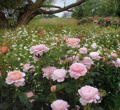 David Austin Rose Queen Of Sweden - - Dobbies Garden Centres Rosas David Austin, David Austin Rosen, Queen Of Sweden Rose, Rose Queen, Nature Aesthetic, Flower Aesthetic, Bloom, Ronsard Rose, Shrub Roses