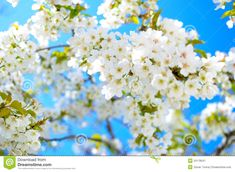 Photo about Cherry flowers on beautiful spring day, blue sky and lovely white flowers on sunshine, blooming branch. Image of blue, branch, white - 24178047 Summer Backgrounds, Recipe Images, Spring Day, Backyard Patio, White Flowers, Bloom, Sky, Stock Photos, Landscape