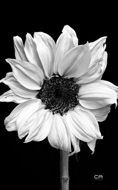 I love the way monochrome brings out the texture of this sunflower-- the folds, lines, highlights and shadows.