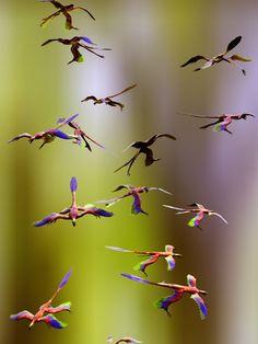 Microraptor Dinosaurs Flying, Artwork  Av: Christian Darkin AllPosters.no