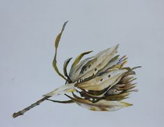 Water colour dried out Protea. South Africa, Cape, Flora, Watercolor, Colour, Pictures, Painting, Mantle, Pen And Wash