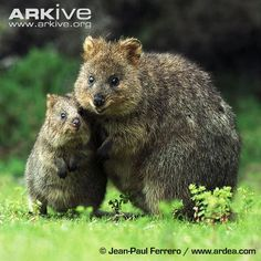The Quokka, an Australian marsupial about the size of a house cat, was the first Australian animal seen by Europeans (who thought it was an oversized rat). It has no fear of humans and seems to be always smiling. (Beware strange animals that are grinning as they approach you, eh?)