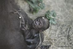 This is Hope's baby at the Knoxville Zoo. One of two lowland gorilla babies born in the past week. (June 2015) #knoxrocks