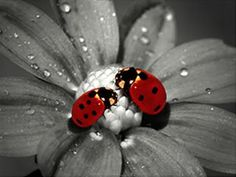 Ladybugs, Photography, Insects, Color Splash, Flowers, Water Drops ...