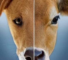 In some countries, cows are pets and dogs are eaten.in others, dogs are pets and cows are eaten. Why pick and choose at all when you don't need to eat either? What Cat, Pig Farming, Dog Insurance, Save Animals, Animal Welfare, Animal Rights, Going Vegan, Livestock, Compassion