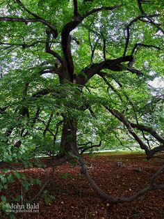 Oldest Tree on the Grounds of Monticello, Charlottesville, Virginia