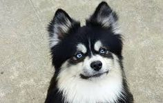 Image result for Pomsky Unique Dog Breeds, Rare Dog Breeds, Popular Dog Breeds, Pomsky, Pomeranian, Border Collie Mix, All Dogs, Corgi, Cute