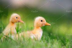 Duckling in grass Photos Two little yellow duckling on green grass by byrdyak