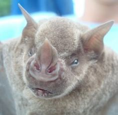 Murciélagos viequenses