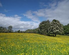 Yellow buttercups, wild grasses and an English Spring ... http://thegenteelworldofcoffee.blogspot.com/