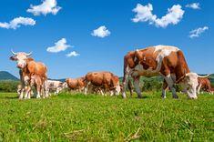 Foto 1: Kühe mit Hörnern auf einer Wiese Rind, Cow, Organic, Animals, Animales, Animaux, Cattle, Animal, Animais