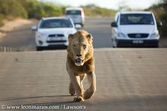 Man on the run. South Africa, Safari, Lion, Animals, Leo, Animales, Animaux, Lions, Animal