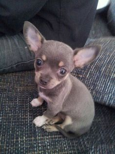 Tiny little thing you. Aww! #Chihuahua